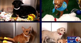 Chihuahuas up for adoption