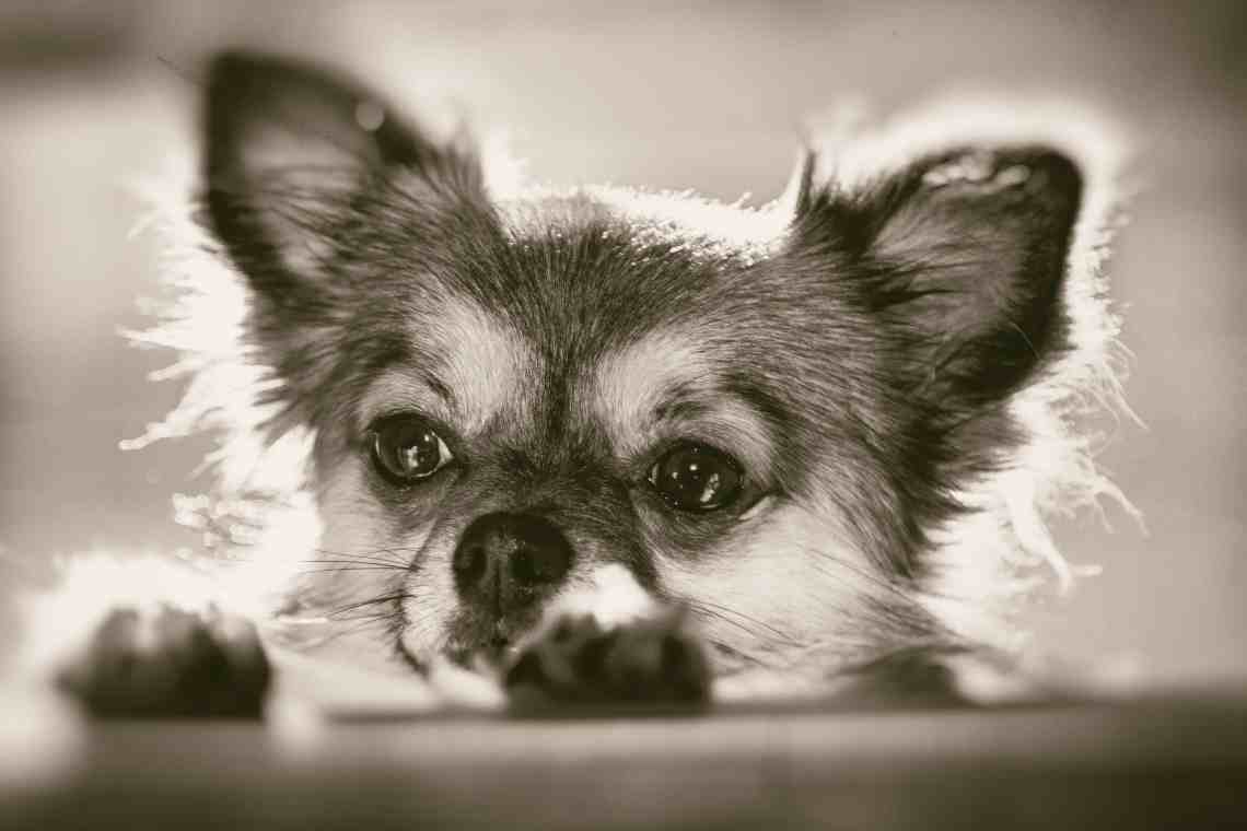 So You Want to Get a Chihuahua?