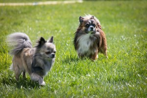 Chihuahuas are know for liking their own breed for company.
