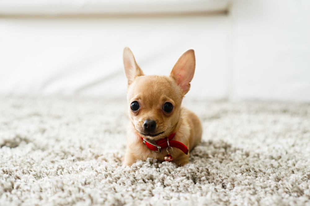 6 Natural ways to rid your house of dog fleas