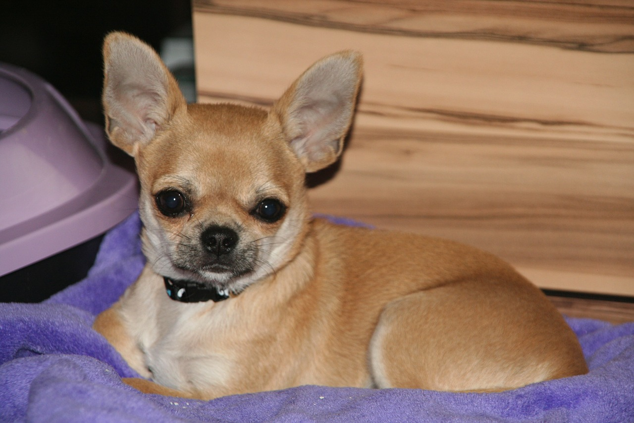 Liver shunt disease in chihuahuas