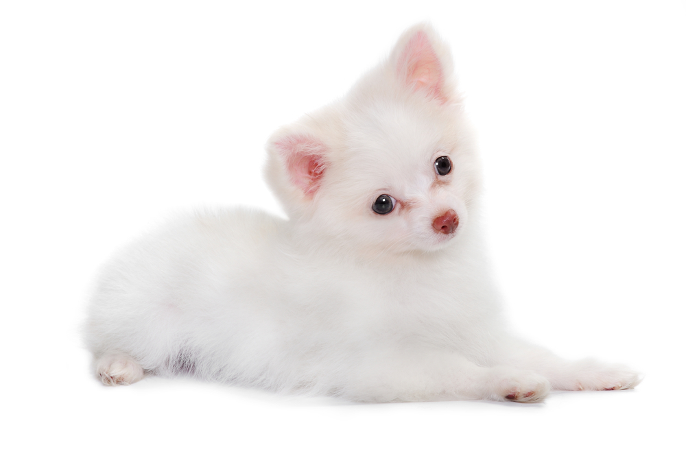 Albino chihuahuas; It's not as clear as you think!