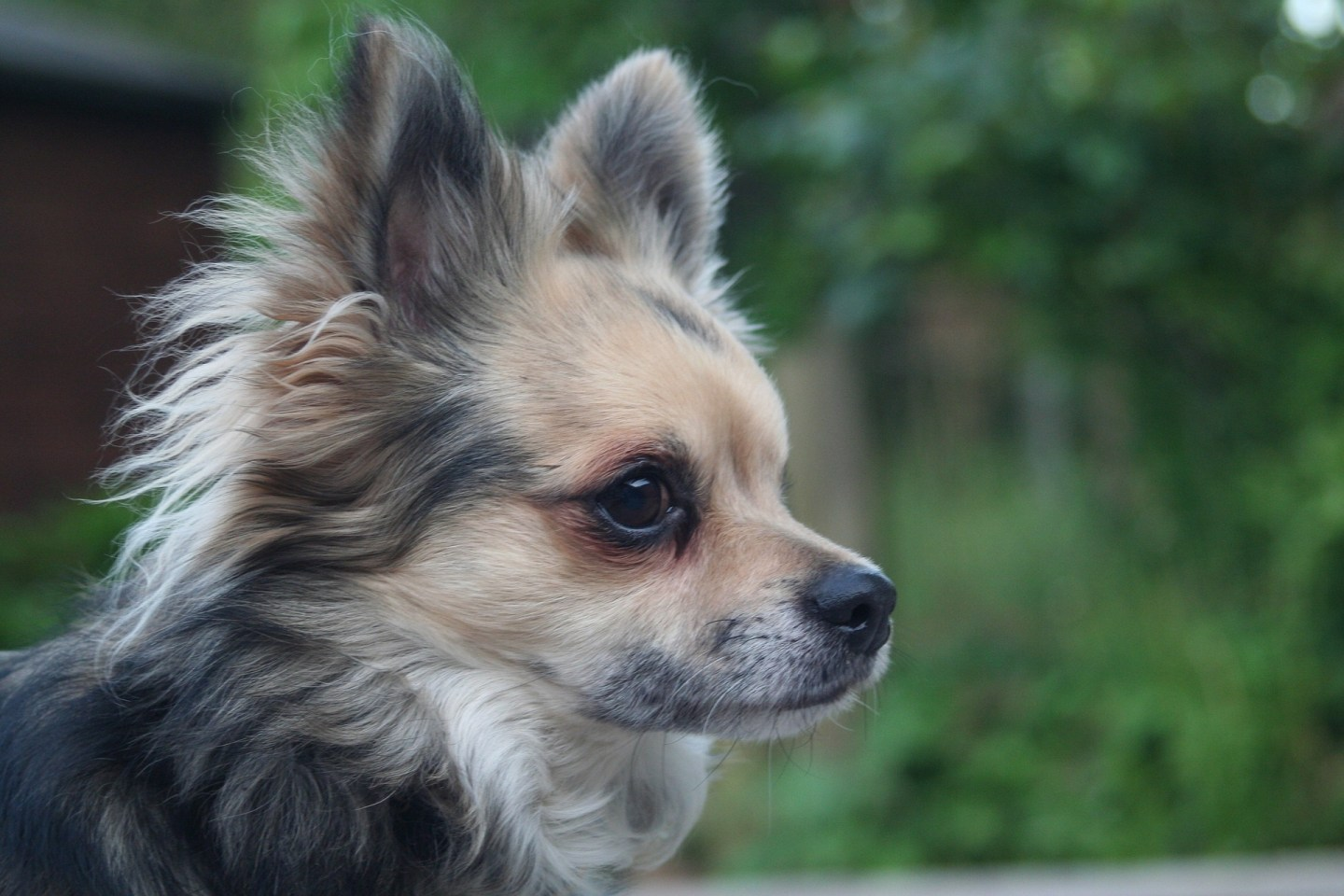 Luxating patella & your chihuahua! What you need to know.