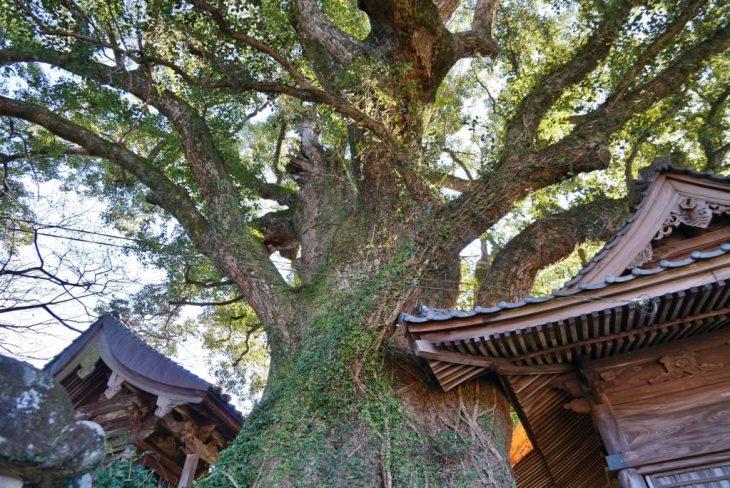 福岡県八女市黒木町湯辺田95 釜屋神社の楠 天然記念物樹齢約六百年