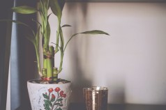 No home is complete without lucky bamboo
