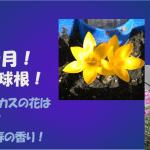 10月秋植え球根!親子で簡単ガーデニング!失敗なしクロッカスと水仙!