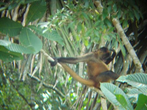Spider monkey, Cano Negro wildlife Tour, Costa Rica