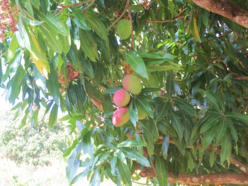 Dominican Republic mangoes
