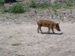 wandering piglet