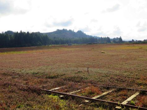 Grayland cranberry bog