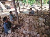 husking coconuts, Thailand