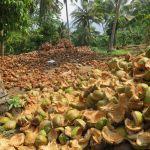 Coconut island coconut plantation Thailand
