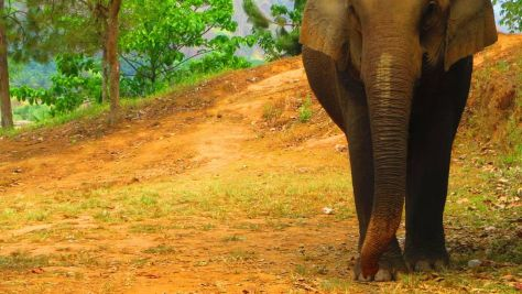 Elephants in Thailand 892