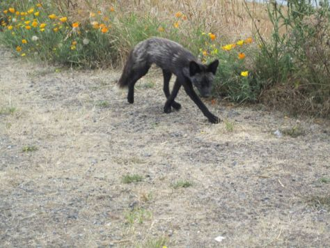 San Juan Island fox