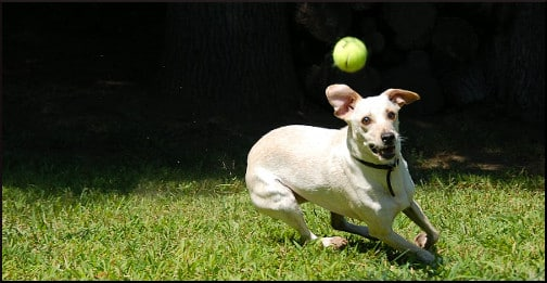 dog-playing-with-ball