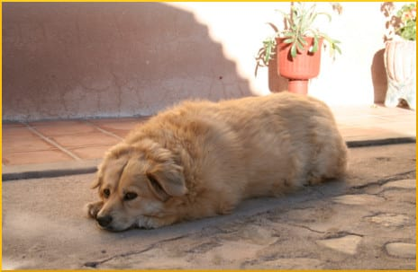 overweight-dog