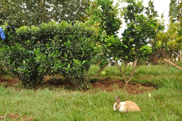 Rabbit in JMLC compound