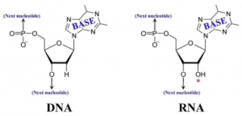 DNA RNA Building Blocks