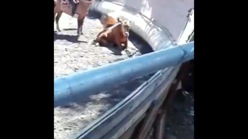[VIDEO] Denuncian maltrato y tortura con electroshock a vaquita en medialuna de Pirque