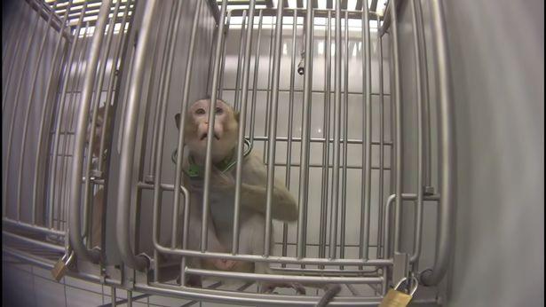 Denuncian BRUTAL MALTRATO animal en laboratorio Alemán, realizaban pruebas en monos, gatos y perros
