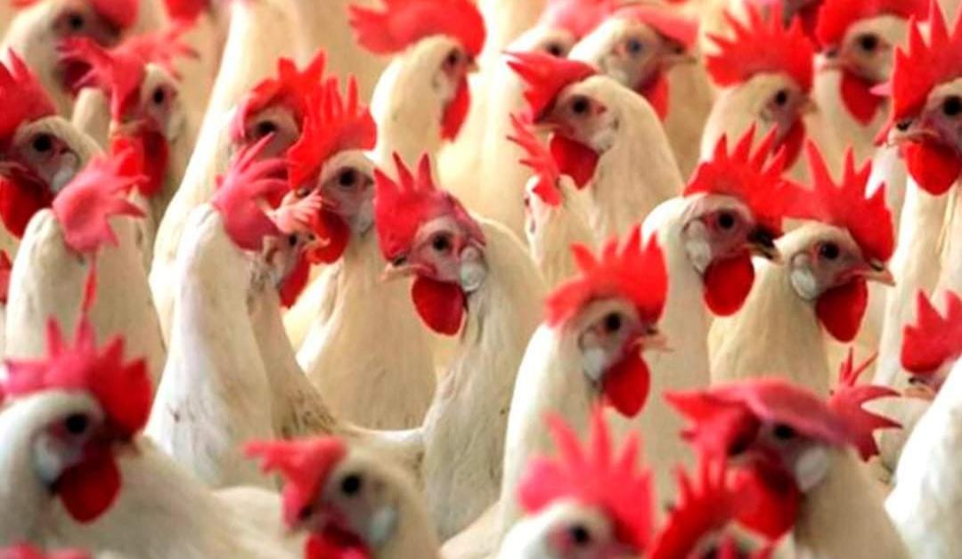 Rusia confirma PRIMEROS CONTAGIOS en humanos por cepa H5N8 de GRIPE AVIAR