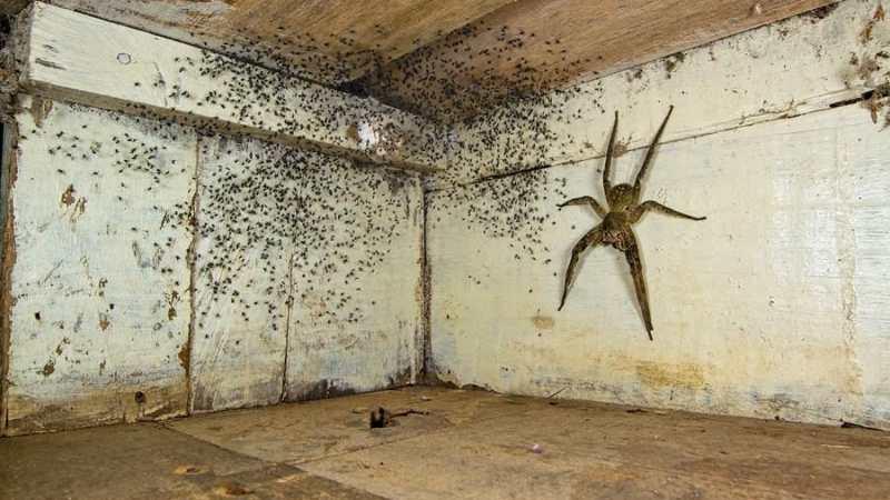 ¡Del TERROR! Hombre encuentra araña del porte de una MANO y sus CRÍAS bajo su cama