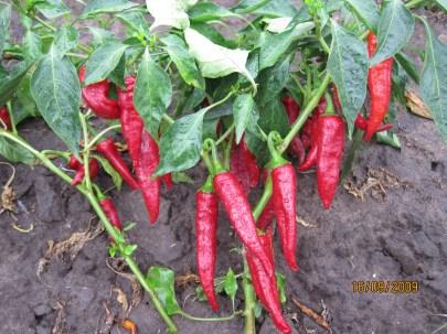 Érett termések
