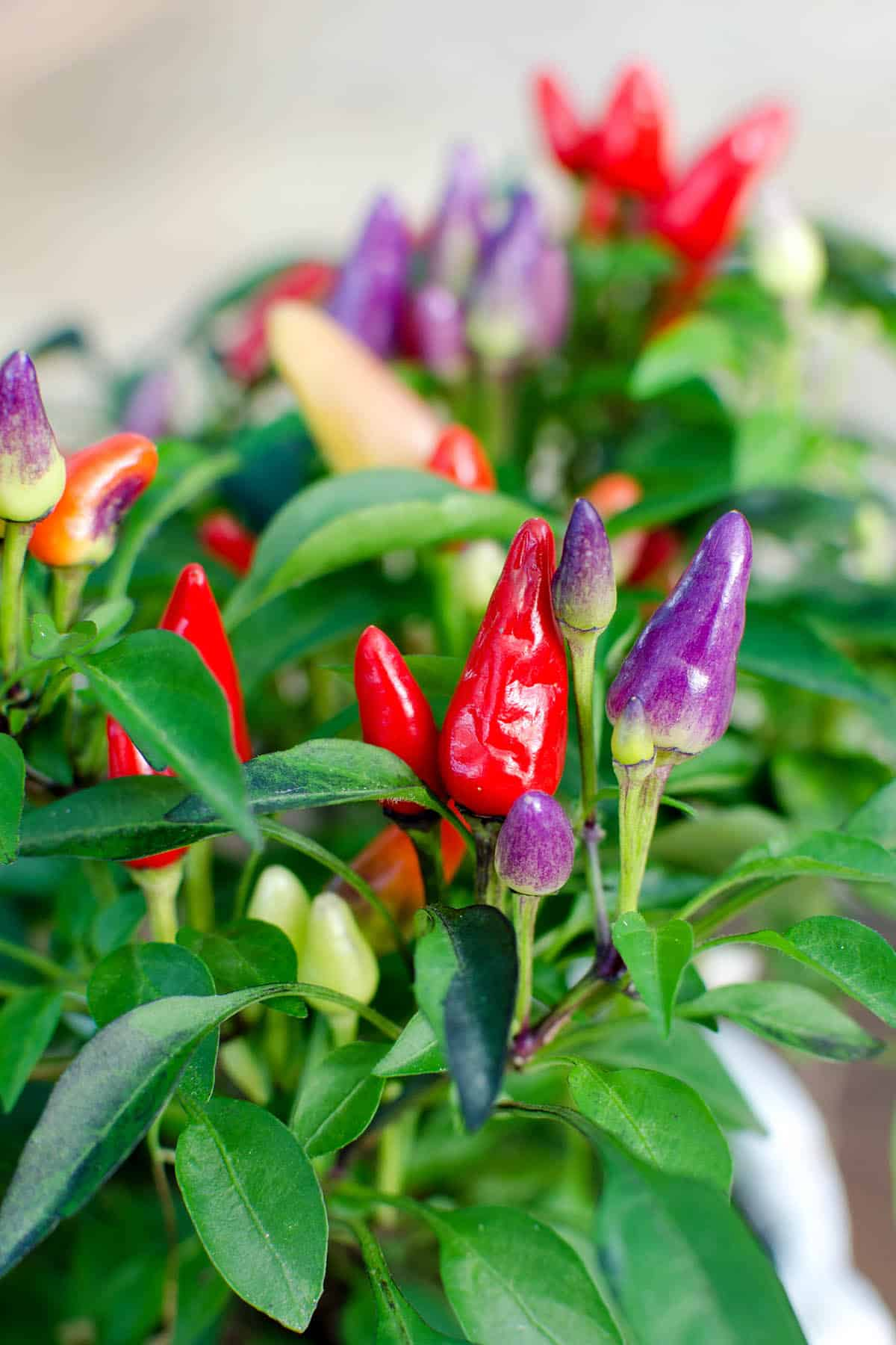 Bolivian Rainbow Chili Peppers