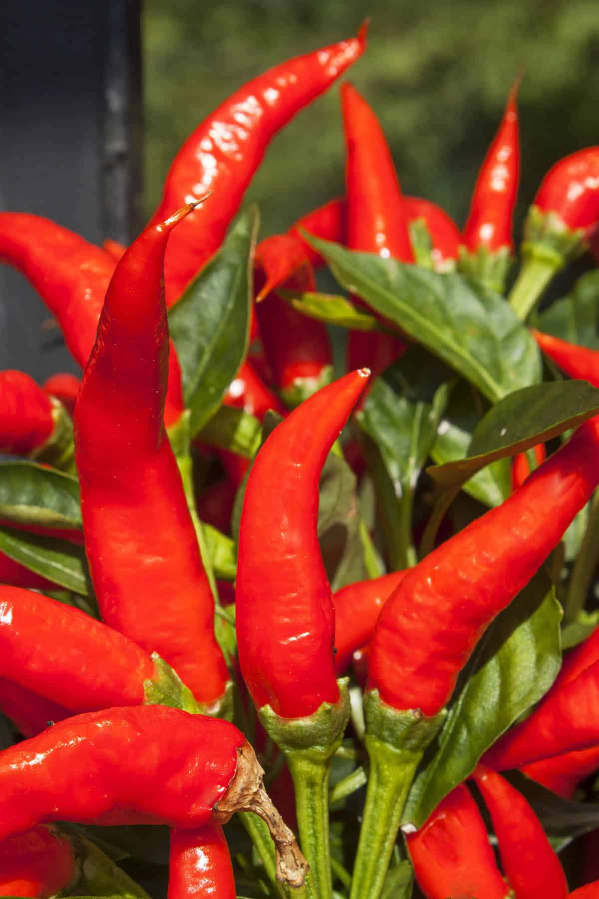 Mirasol Pepper: All About Them