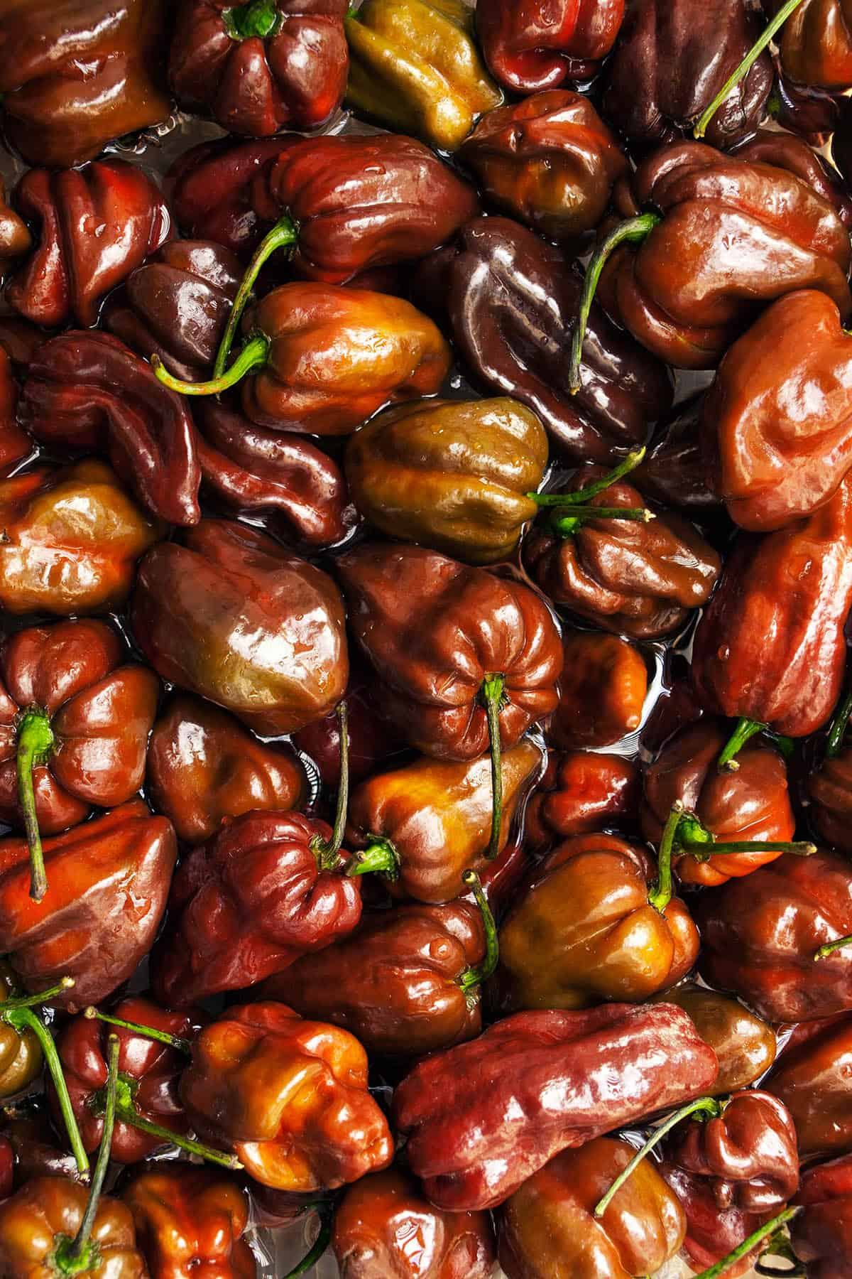 Chocolate Habanero Chili Peppers