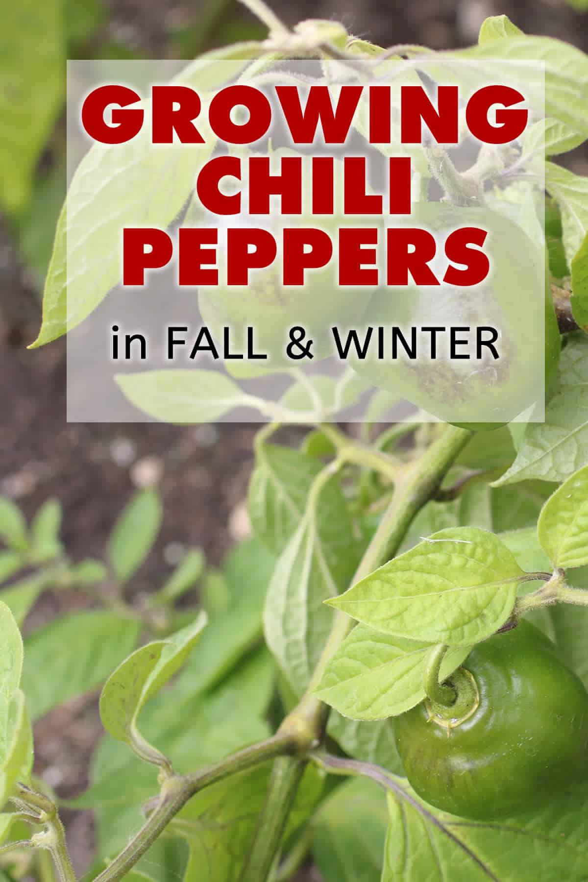 Growing Chili Peppers or Other Gardening in the Fall and Winter