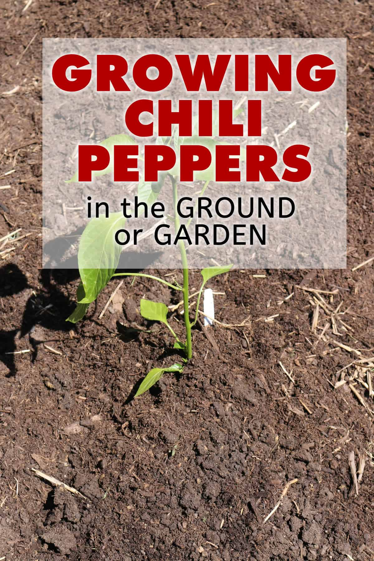 Growing Chili Peppers in the Ground or Garden