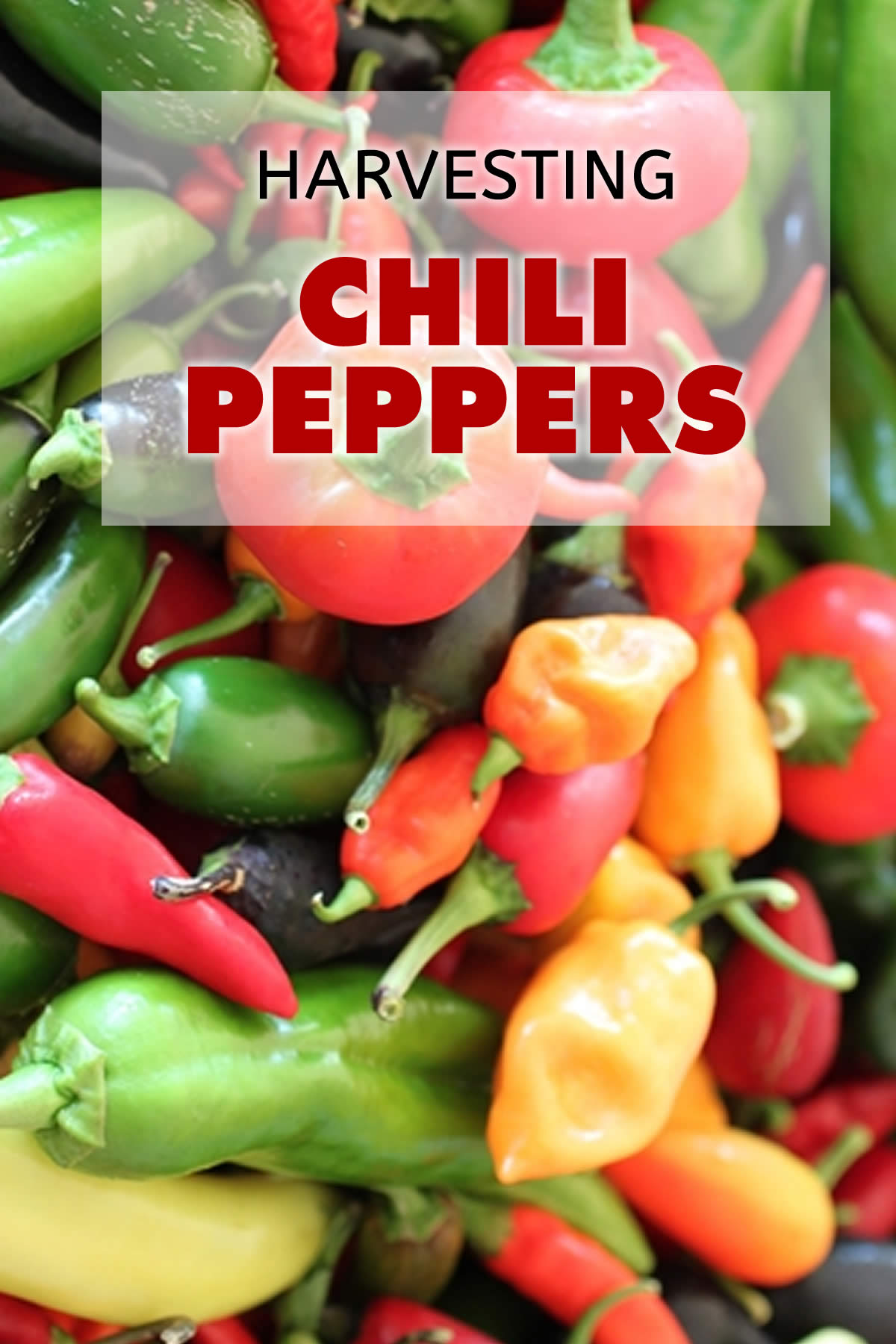 Harvesting Your Chili Peppers