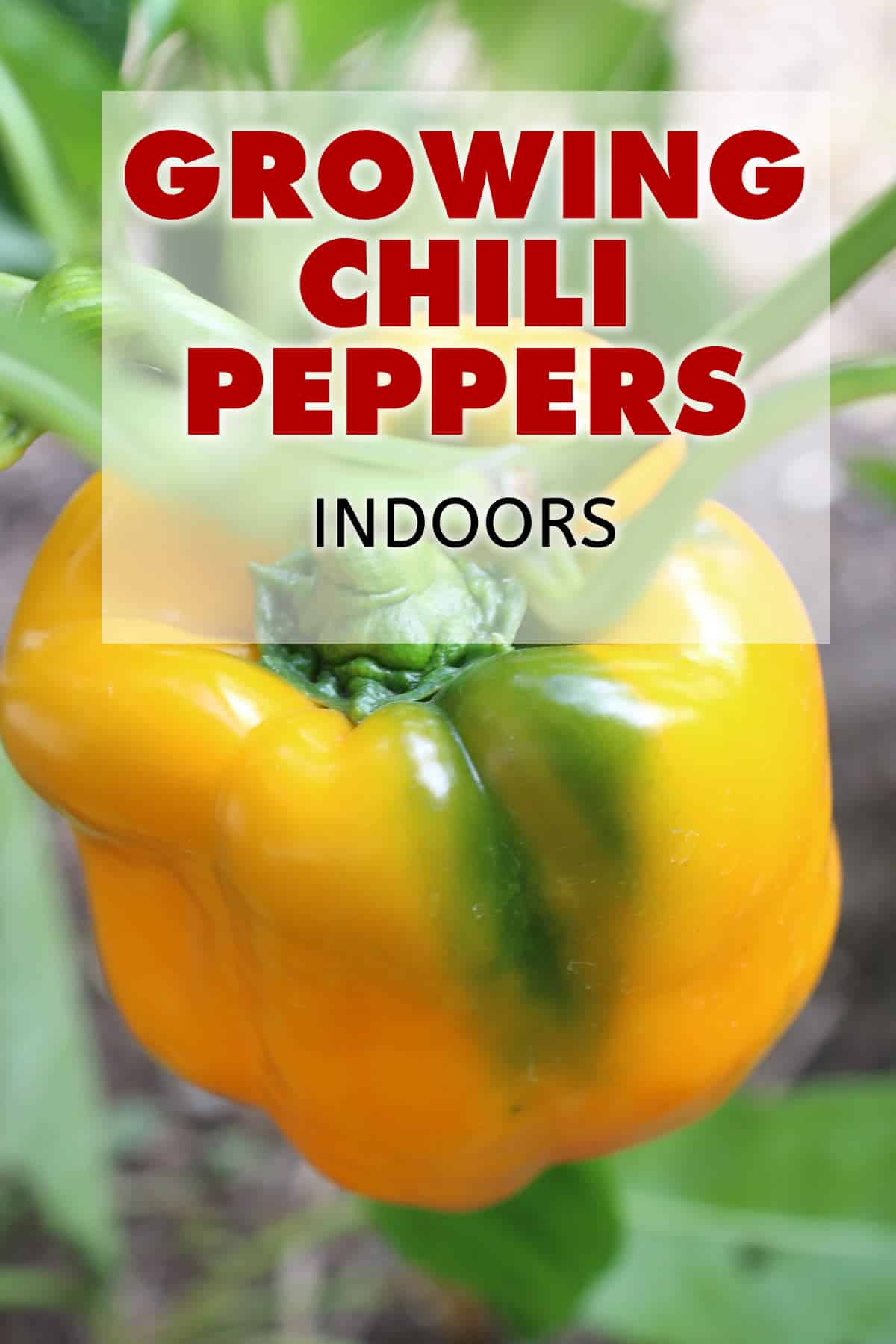 Growing Chili Peppers Indoors