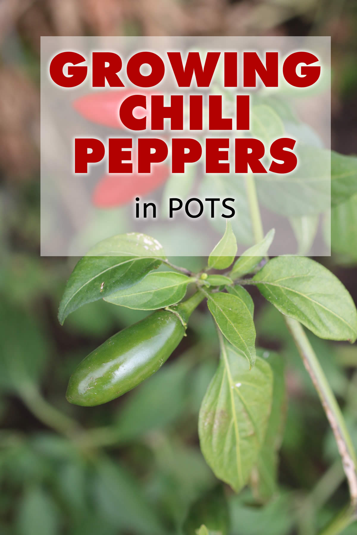 How to Grow Chili Pepper Plants in Pots