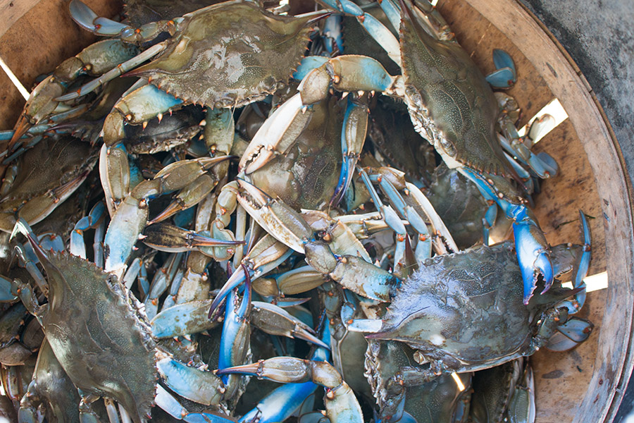 A bushel of blue crab we caught in the Chesapeake Bay