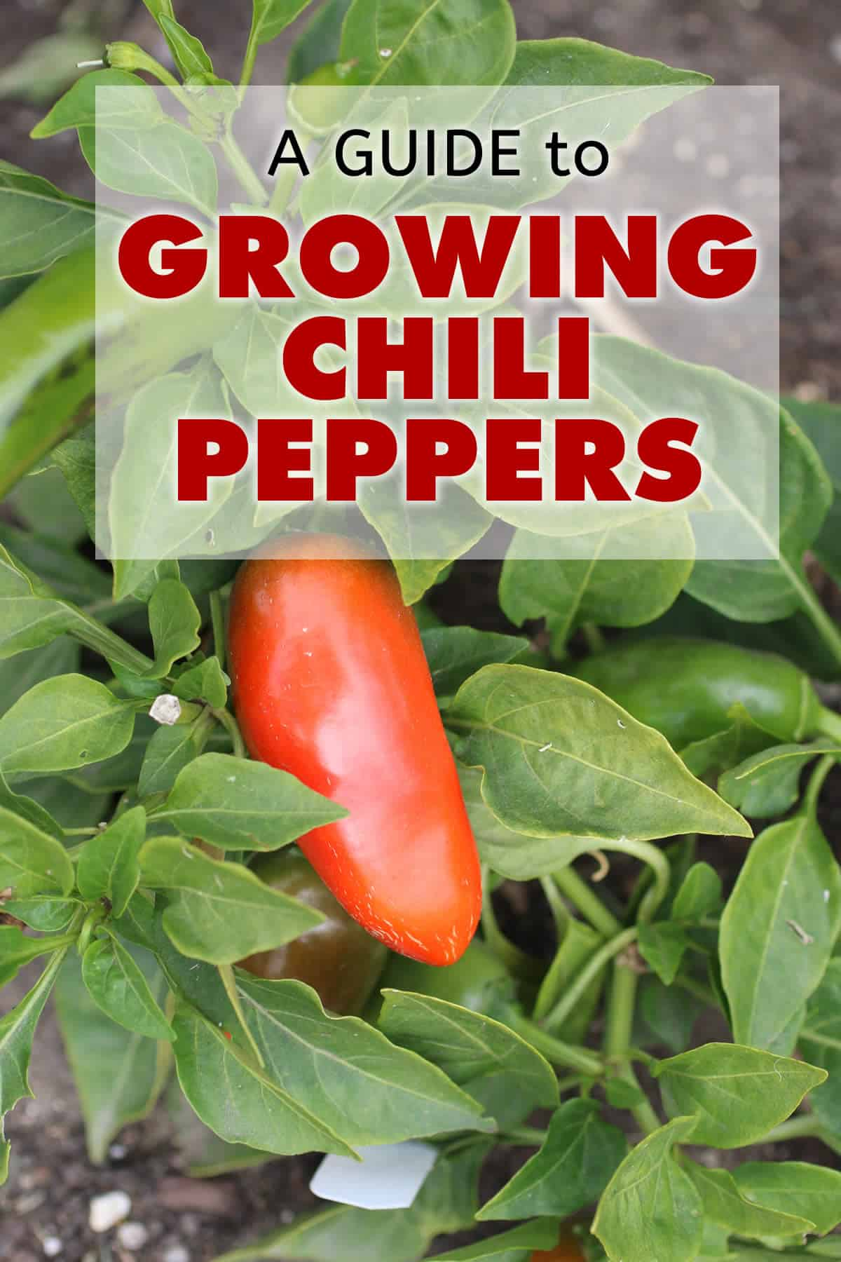 A Guide to Growing Chili Peppers