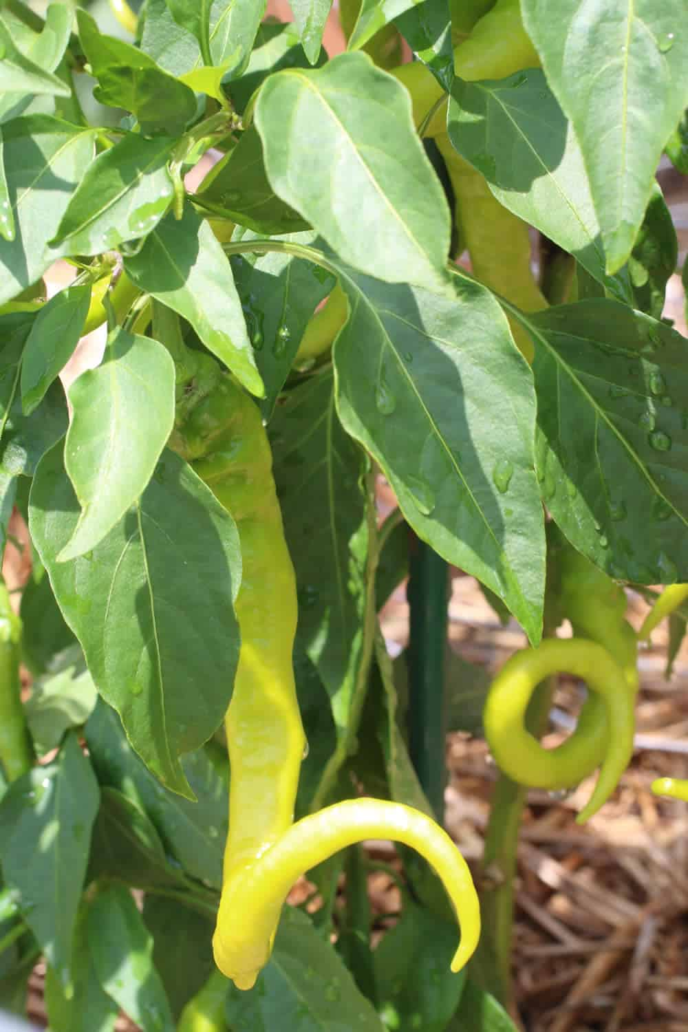 Growing Chili Peppers - Chili Peppers Love Water