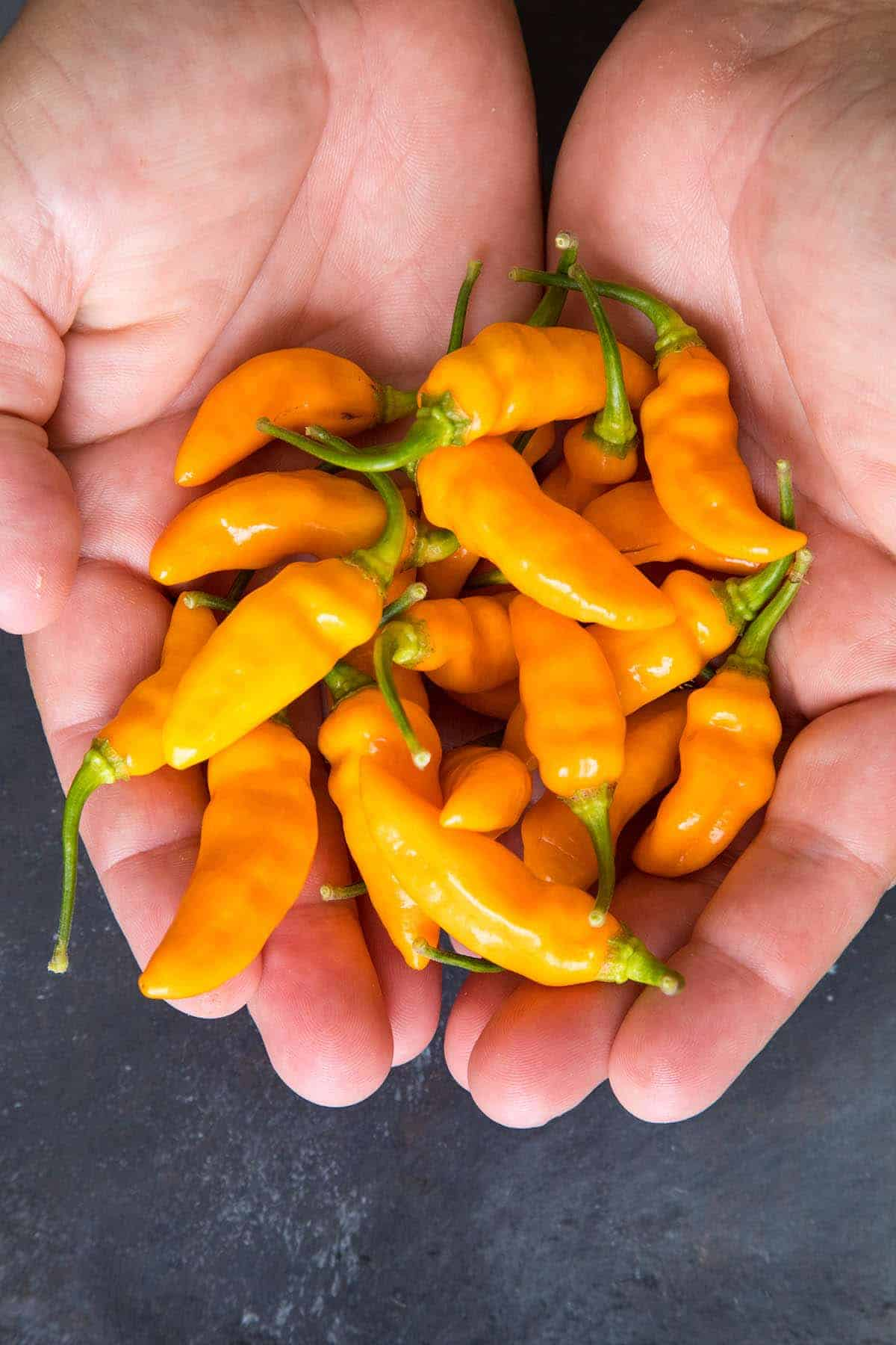 Datil Pepper: Fiery Chili from St. Augustine