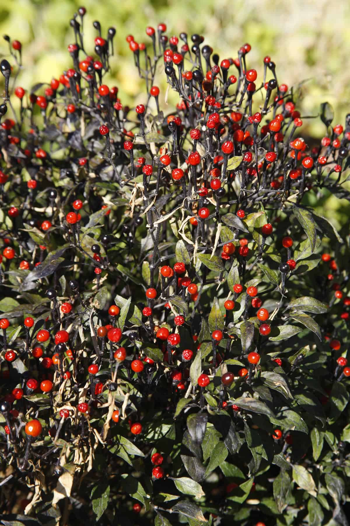Chiltepin Peppers Wild Tiny U S Native Hot Peppers Chili Pepper Madness