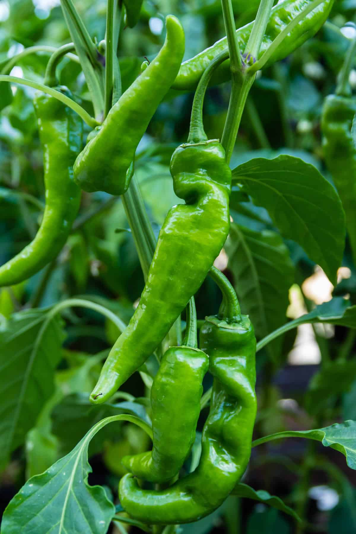 Anaheim Pepper: A Popular Mild California Chili