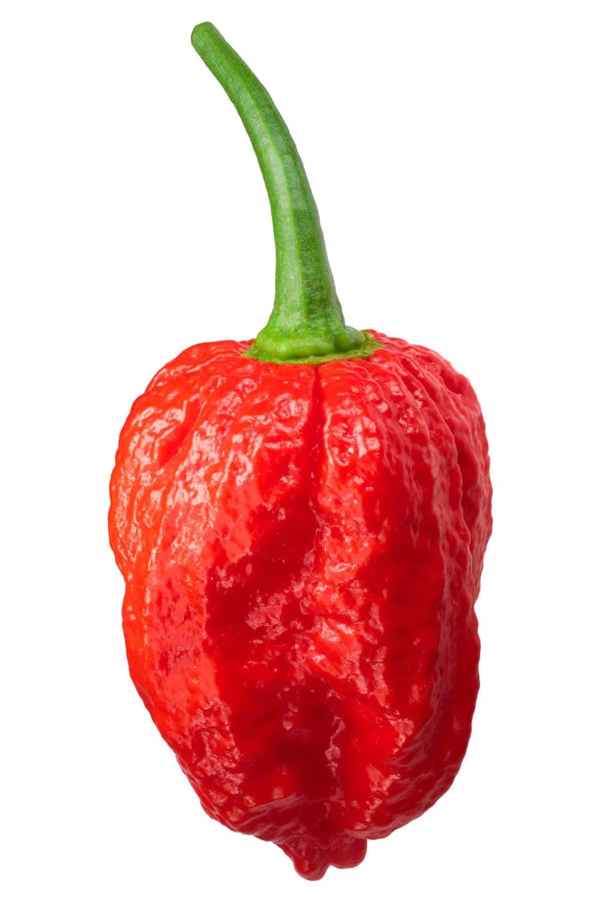 Dorset Naga: Superhot Pepper with Great Flavor