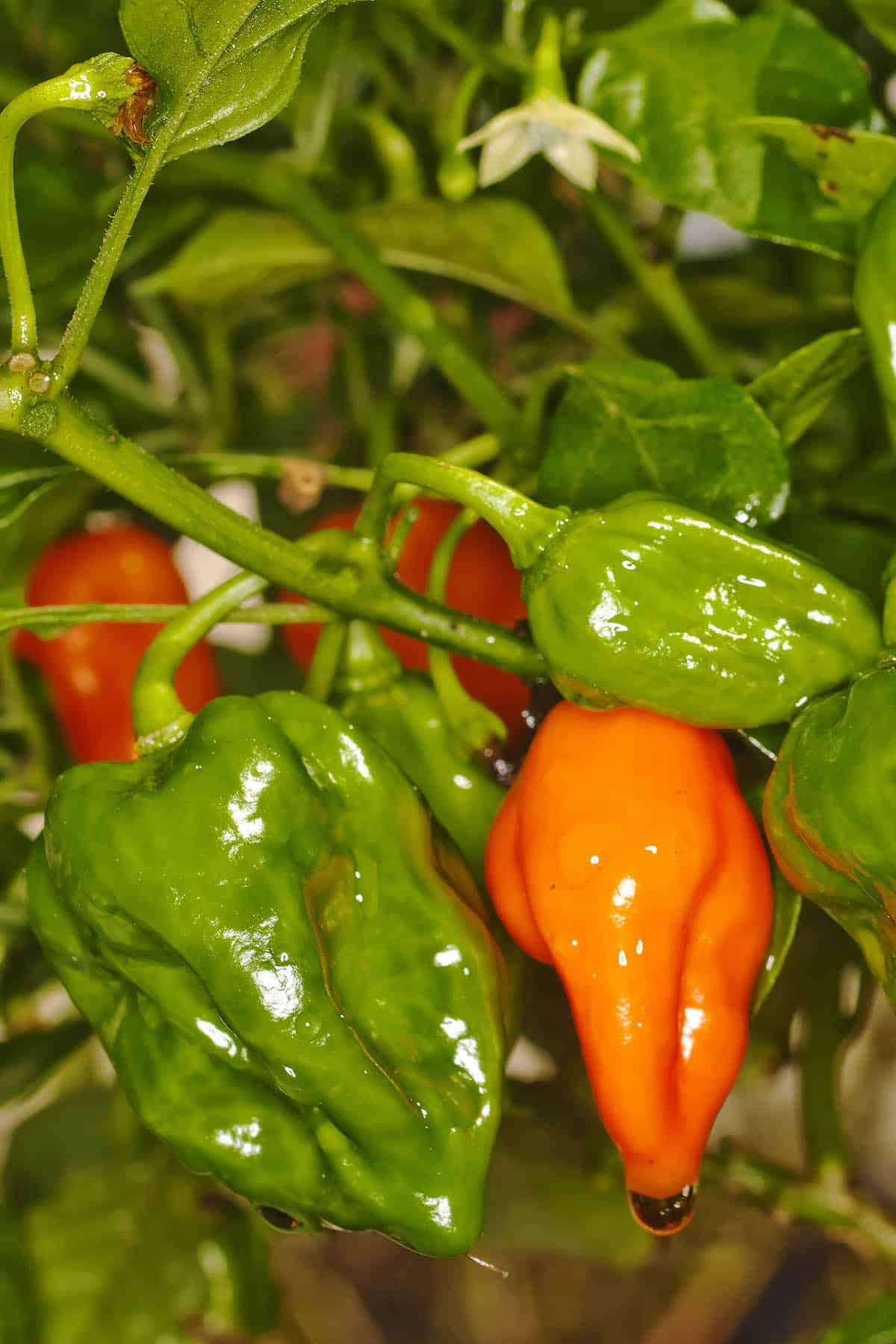 Naga Viper Chili Peppers