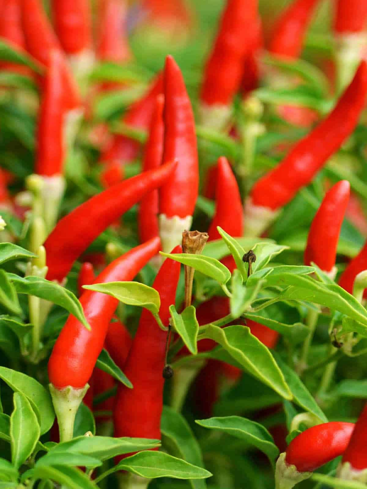 How Do You Measure Chili Pepper Heat? (Story)