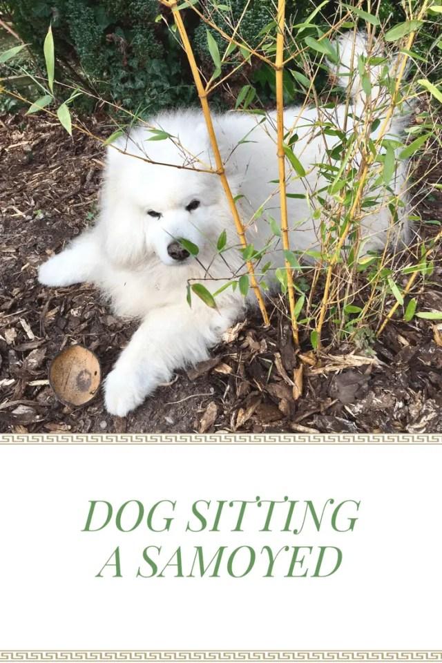 #samoyed #dogs #ordinarymoments