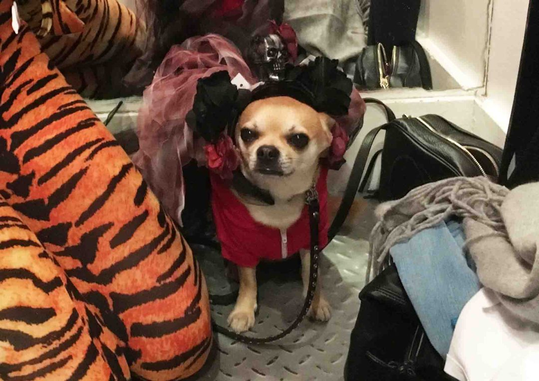 Chilliwawa dog blog Halloween costume shopping