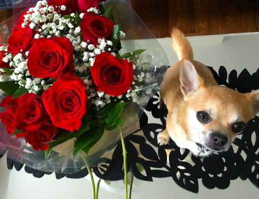 Chilli Chihuahua Valentine's Day