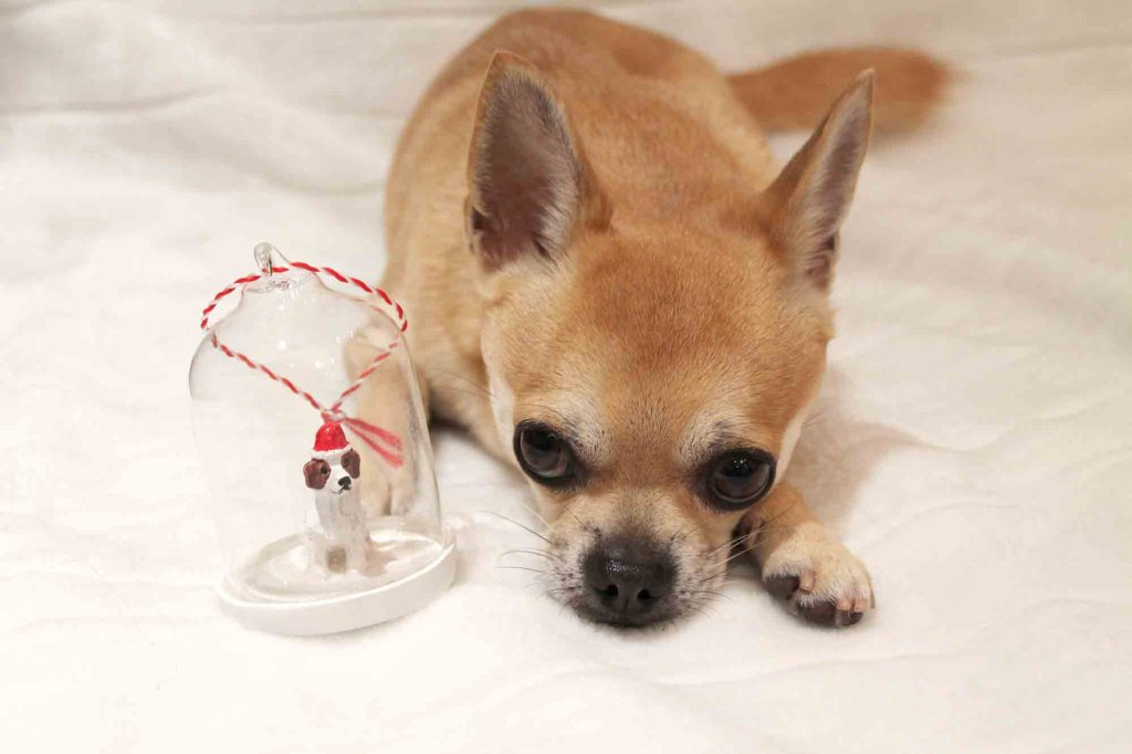Chilli with a glass bauble dog Christmas ornament