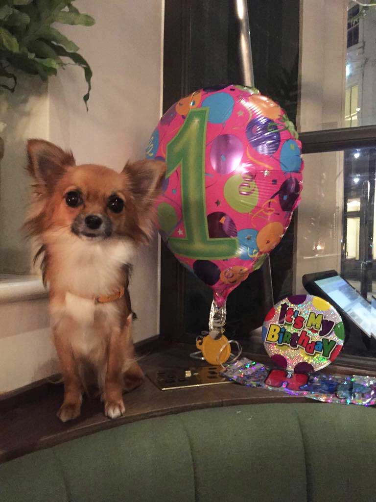 Birthday Chihuahua at Farmacy