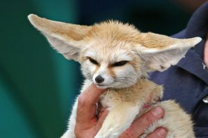 Fennec fox and Chihuahuas